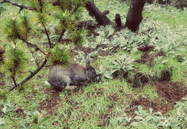 A brown rabbit is feeding on grass near a shrub at Royal Roads University