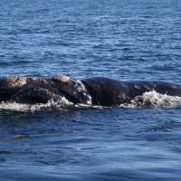 Environmental groups are arguing for further protections for right whales in the Gulf of St. Lawrence.