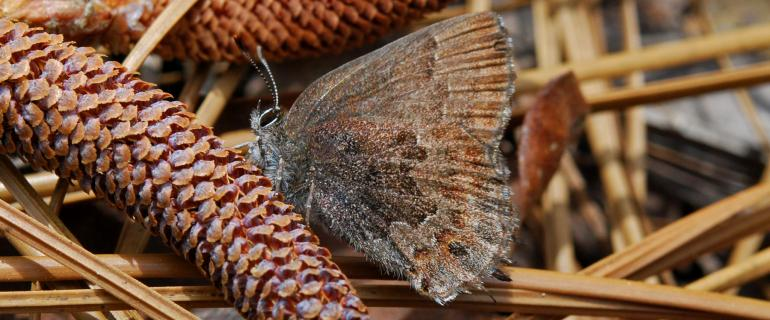 Butterfly perched on pinecone