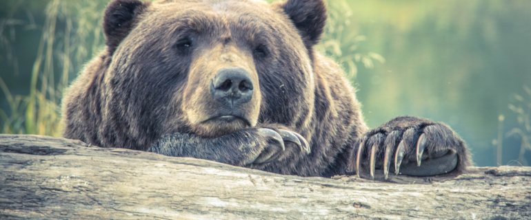 Grizzly bear leaning on log