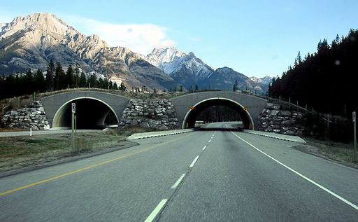 Animal Crossing in Banff along Trans-Canada Highway