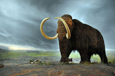 Wooly Mammoth at RBCM, image via Wikimedia Commons