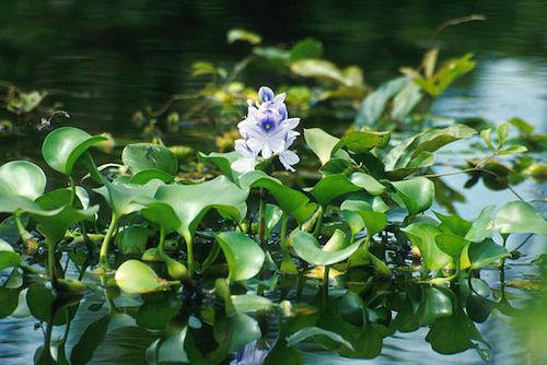 Latin American water hyacinth